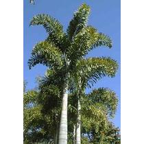 Palma Cola De Zorro (wodyetia Bifurcata) Palmera 35cms