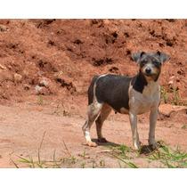 Filhotes De Terrier Brasileiro / Fox Paulistinha