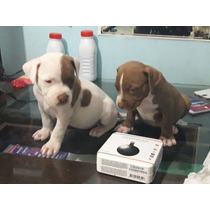 Cachorros Pitbull Red Nose Y Silver Blue