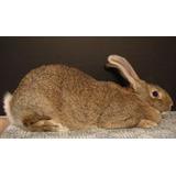 7 Conejos Gigante De Flandes Gazapos De 35 Dias $5000