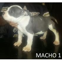 American Staffordshite Terrier, Macho, Azul E Branco, 2 Mese