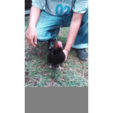 Gallo De Pelea Negro