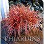 Grama Vermelha Sementes, Gramineas Ornamentais Plantas
