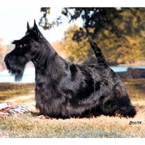 Scottish Terrier Pedigree Cbkc Excelente Cobertura Criador