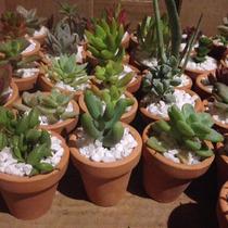 Plantas Suculentas Decoradas Con Maceta De Barro Caja 100