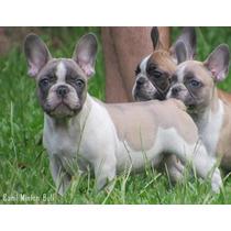 Bulldog Frances Macho Blue Fawn Pied Lindo Filhote !!!