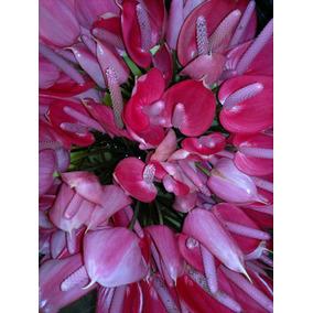 Plantas De Anturios, Rosa Fuerte