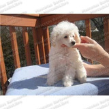 Gran Oferta Cachorros French Poodle Minitoy Apto Registro Fc