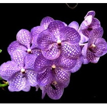 Muda De Orquídea Vanda Kultana Azul Adulta