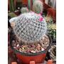 Cactus Exotico Mammillaria Tamaño Adulto