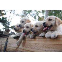Cachorros Labradores, Puros Con Pedigree, Tatuados