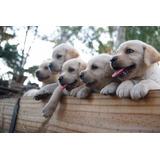 Cachorros Labradores, Puros Con Pedigree, Espectaculares