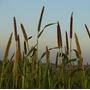 Semente De Milheto Para Plantio 10 Kg