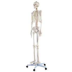 Esqueleto Humano Modelo Anatómico Tamaño Normal 1.8m