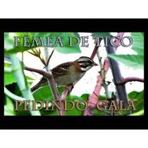 Cd - Canto Do Tico-tico Fêmea Marcheando - Canto De Pássaros