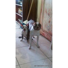 Cachorro Boston Terrier Hembra Hermosa 3 Meses