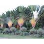 Palma O Palmera Del Viajero. Ravenala Madacascariensis 1,20m
