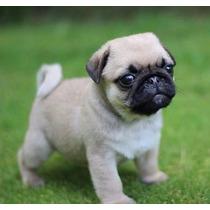 Pug Cachorros De Calidad A Meses Sin Intereses¡¡