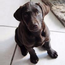 Filhotes Labrador Chocolate E Preto Recém Nascidos