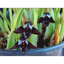 Rara Orquídea Negra Adultas!!!!!