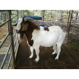 Kit Aprende Cría Ovinos Caprinos Ovejas Cabras Corrales