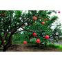 Arboles Frutales Granados - Arbol Frutal Granada - Plantines