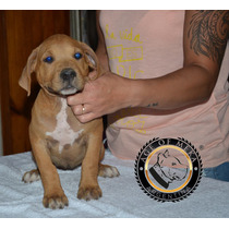 Pitbull Blue Hembras Disponibles Criadero Age Of Meka