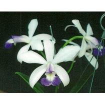 Muda Orquídea Cattleya Violacea Coerulea `rio Preto´ X Self