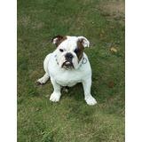 Bulldog Ingles Con Pedigree Para Servicio De Inseminacion