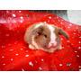 Conejos Orejitas Caidas Holland Lop!!!! Fotos Reales