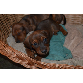 Cachorros Salchichas Mini Arlequin