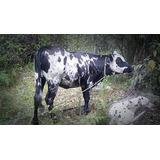 Novilla Lechera Holstein Con Pardo Suizo