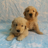 Espectaculares Cachorros Golden Retriever Hembra Y Macho