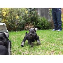 Cachorros Schnauzer Sal Y Pimienta Vacunada Cartilla