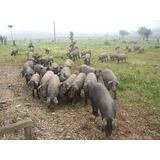 Curso Apostila Criação De Porco Caipira Formula Ração