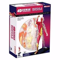 Corpo Humano Esqueleto Anatomia Medicina Músculos 18 Cm