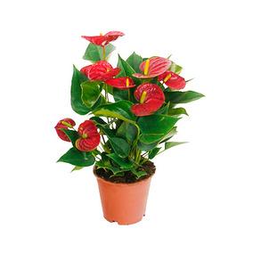 Plantas Anturio