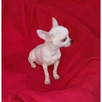 Chihuahua Macho Mini Blanco