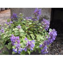 Una Planta Organica De Vivero Hierba Gatera Nepeta Cataria