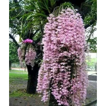 Orquideas Dendrobium Anosmum Adulta