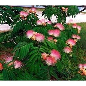 Albizia Rosa Acacia 4 Semillas Remojar Sol Directo Sdqro