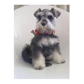 Preciosos Cachorros Schnauzer Miniatura