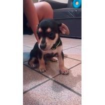 Cachorro Chihuahua 1 Mes Y Medio