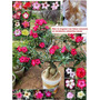 Rosa Do Deserto Mix Adenium Obesum 20 Sementes Flor P/ Mudas