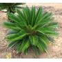 Muda De Palmeira Cica Revoluta No Tubete Jumbo