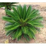 04 Mudas De Palmeira Cica Revoluta No Tubete Jumbo