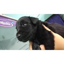 Cachorros De Labrador Puros Color Negro Machos.,, Ultimos!!!