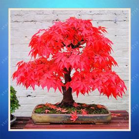 Sementes De Árvores Bonsai Bordo Vermelho 5 Sementes Raras
