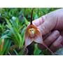 Flor Cara De Mono Orquideas