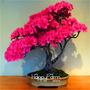 10 Semillas De Bonsai Sakura Cerezo A $4.990!!!